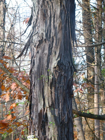 a shagbark hickory growing along Ferry Road
