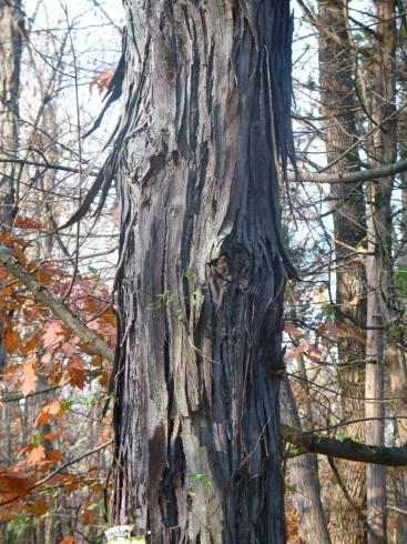 a shagbark hickory growing along Ferry Road