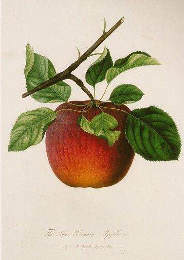 Pearmain Apple