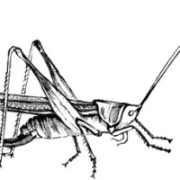 A Cricket for a Christmas Guest