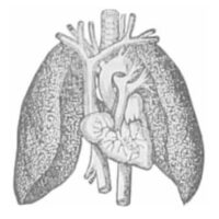 Lungs copy